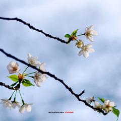 四月樱花3