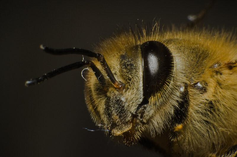 遗照<br /> 一只小蜜蜂冻僵在阳台上,拿来作微距练习,给它留一个最后的微笑....