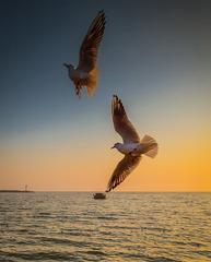 青岛黄昏的海鸥