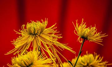 青岛深秋的菊花