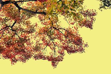 青初冬的红枫