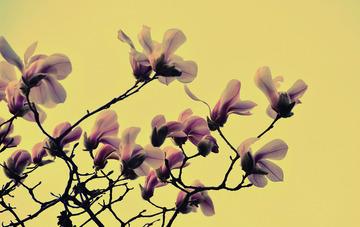 青岛初春的玉兰花