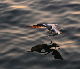 青岛黄昏的鸥影