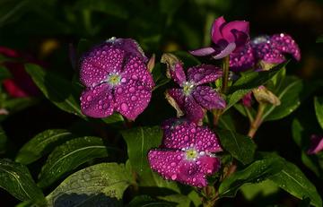 青岛晨露中的小花
