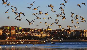 青岛黄昏的那群鸥