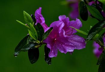 青岛雨中的杜鹃