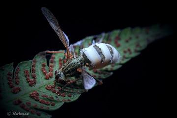 被寄生的寄蝇