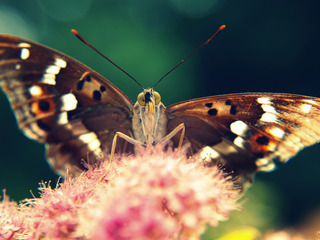 Animal_butterfly_419723