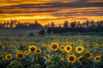 晚霞下的向日葵