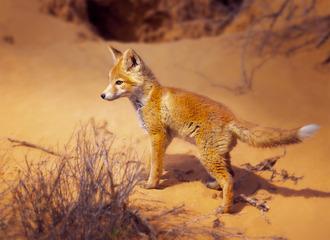 孤独的小狐狸