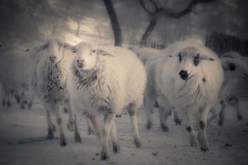 """冬日暖""""羊"""""""