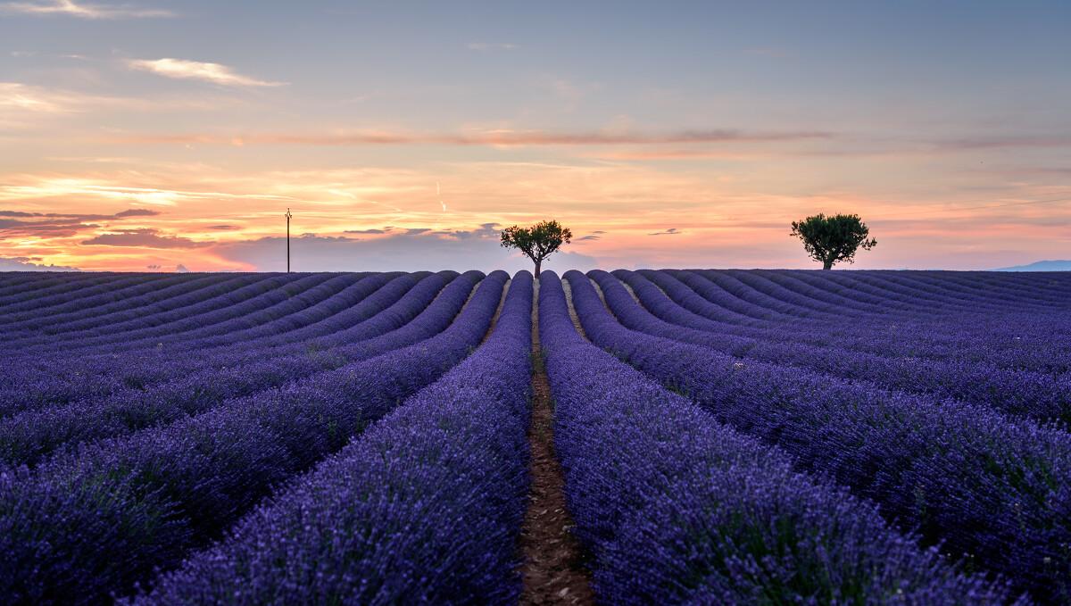 初夏的法国南部,一片盛开的紫色海洋