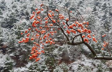 雪里的红柿子