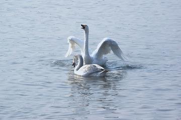 鹅,鹅,鹅,曲颈向天歌