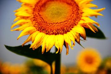 仲夏,夏と言えば、向日葵ですね……