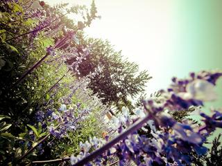 蓝调薰衣草庄园