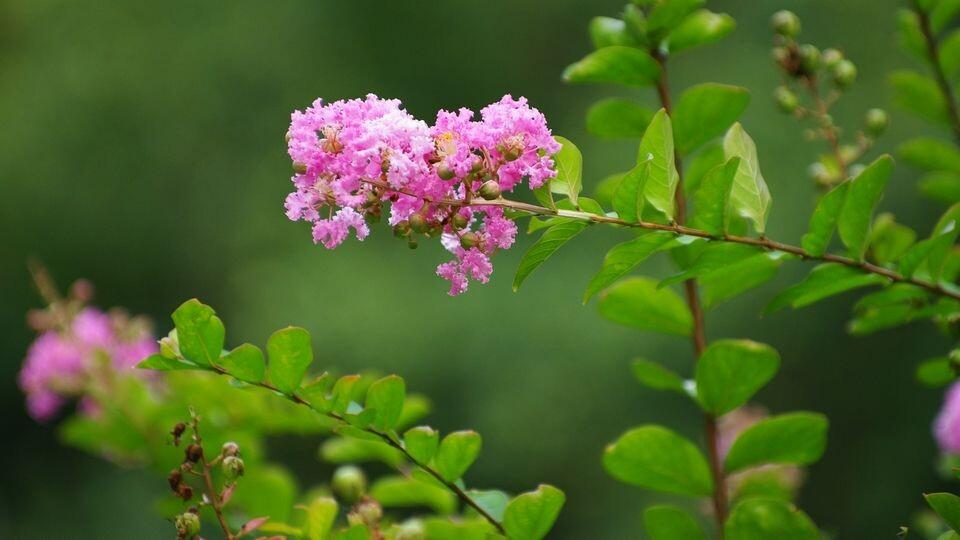 紫薇<br />