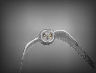 眼睛 短耳鸮