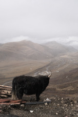 色达佛学院的牛