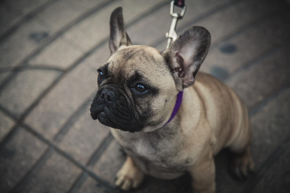兰布拉大道上一只好奇的狗狗~<br /> @La Rambla