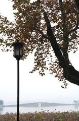 秋天西湖边的梧桐