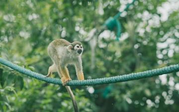 灵巧的蜘蛛猴