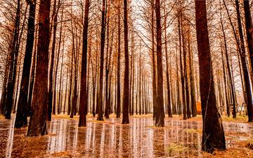 雨后的水杉林