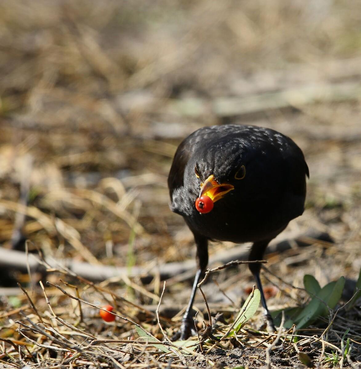 瑞典国鸟-鸟鸫 - 浦东老沈 - 图虫摄影网
