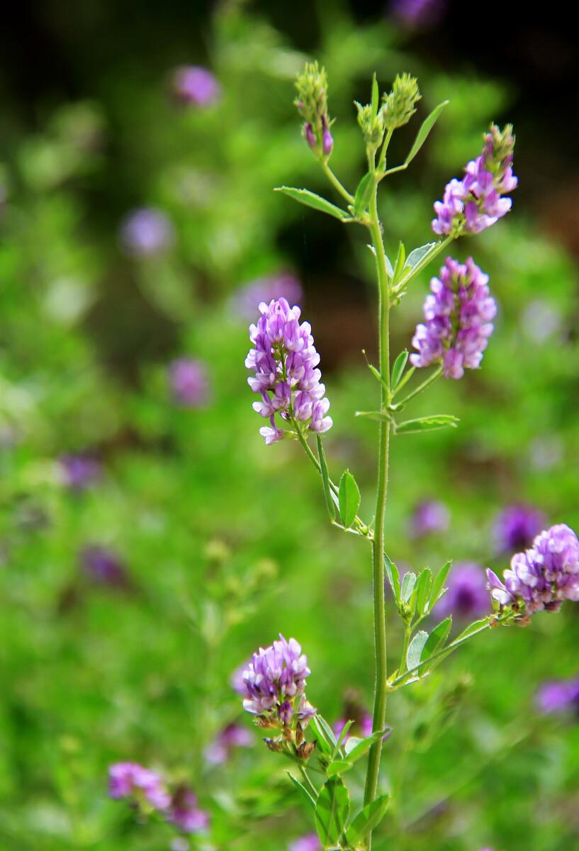 紫花苜蓿盛花期图片