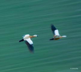 疾飞中的赤麻鸭