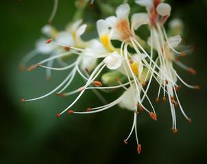 七叶树之花蕊