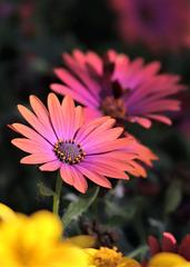 蓝目菊—沉默的爱。