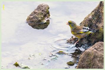 金翅雀河边饮水