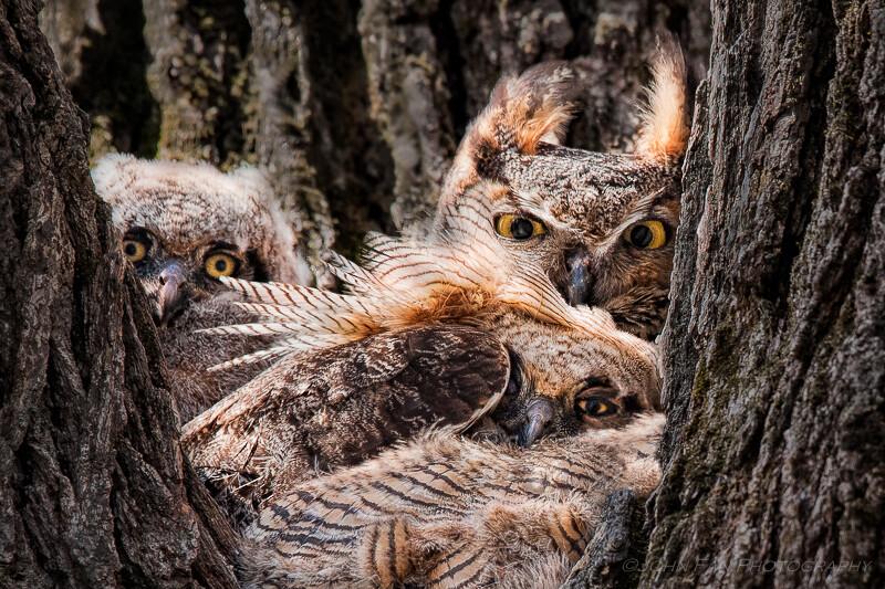 树杈上三只刚出生的猫头鹰好奇地看着下面一个怪物,架着个大炮,傻颠颠地一动不动。