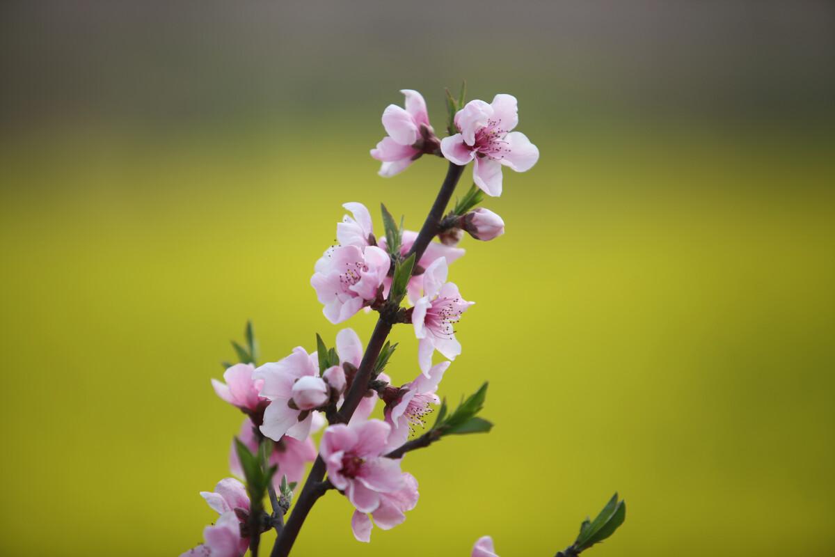 2014年3月23日,前往湖北五三桃花节盛会拍摄。无声 摄