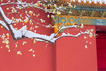 傲霜斗雪映红墙