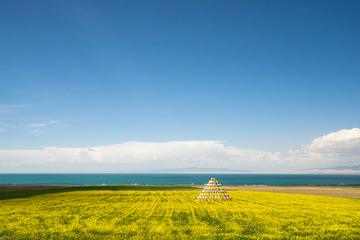 青海湖边油菜花