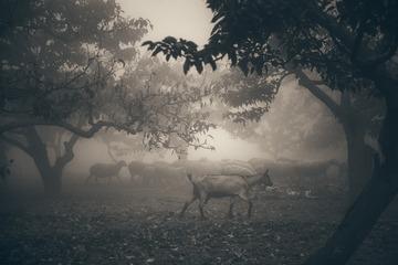 晨雾中的羊