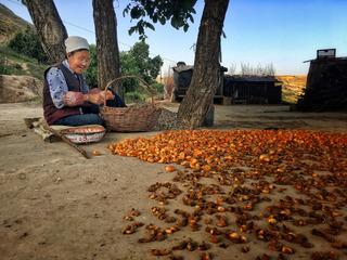 晒杏干的老人