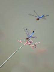 蜻蜓双飞。