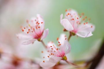 春天的红叶李