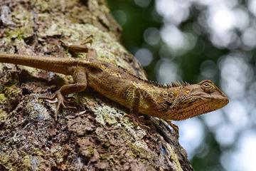 The Host Lizard