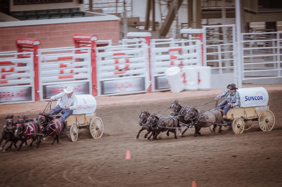 小马拉车表演赛,也属于热场表演。这种小矮马是一个特有的品种,成年马高度也就一米左右。