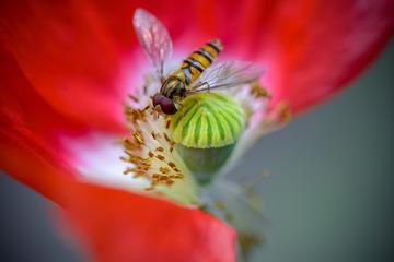 蜜蜂吮吸虞美人