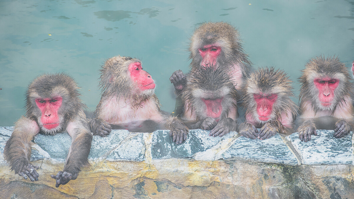 温泉中的日本雪猴。北海道函馆