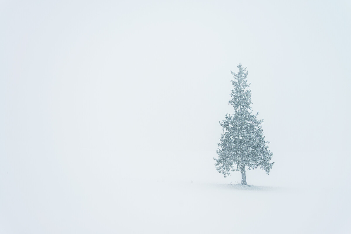 美瑛,圣诞树