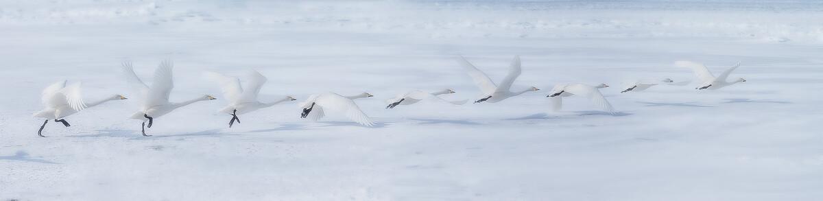 """北海道的屈斜路湖是世界闻名的天鹅越冬地,每年一二月,成群的大天鹅从西伯利亚飞来,在这里被温泉加热的水边栖息。日语中将天鹅写作""""白鳥"""",充满了直白暴力的美感。这是一张高速连拍的合成图"""